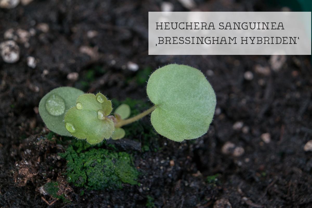Keimling Heuchera sanguinea Bressingham Hybriden