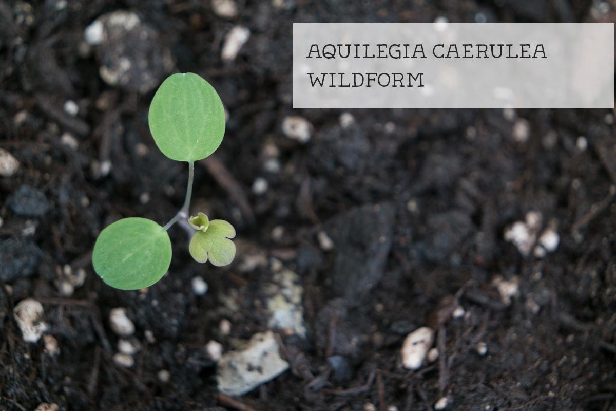 Keimling Aquilegia caerulea Wildform