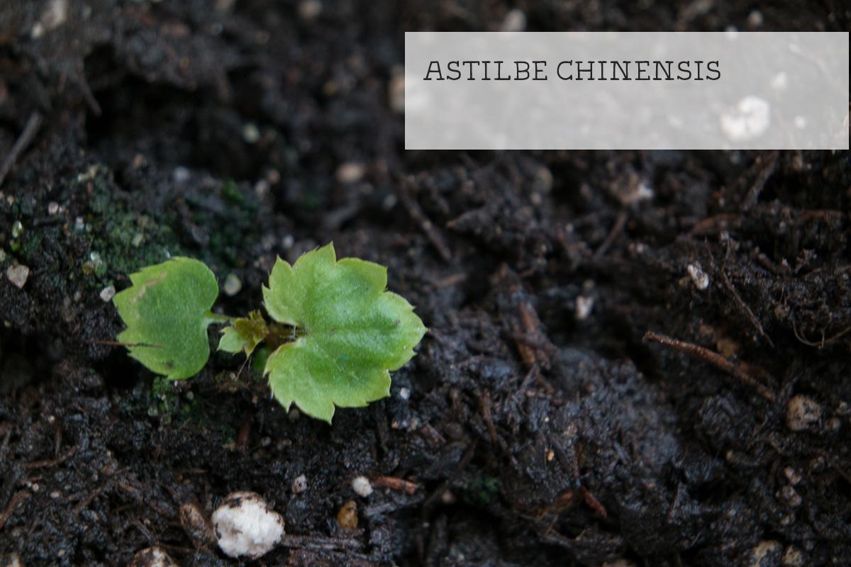 Keimling Astilbe chinensis