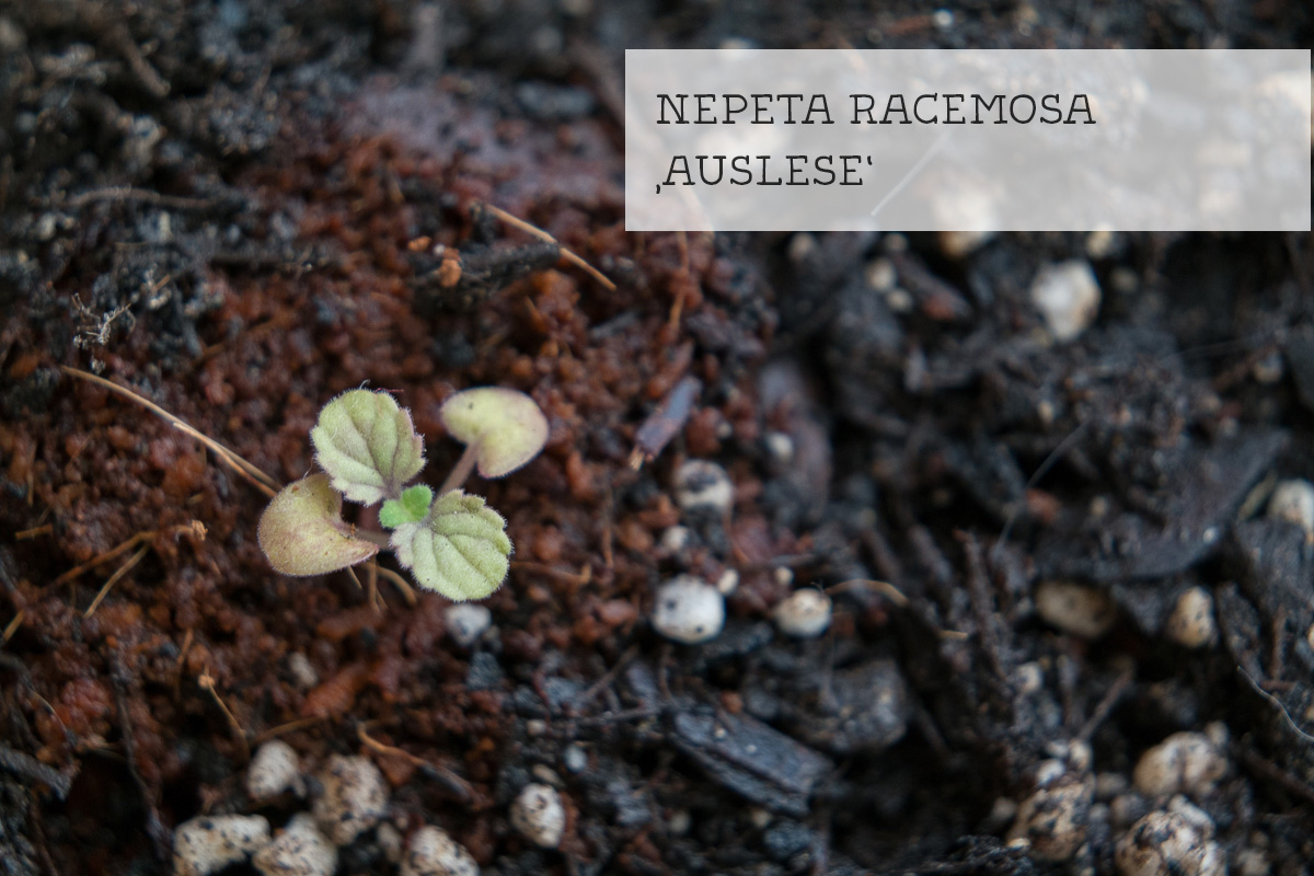 Keimling Nepeta racemosa