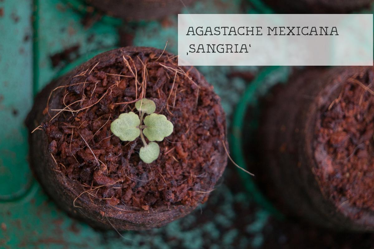 Keimling Agastache maxicana sangria